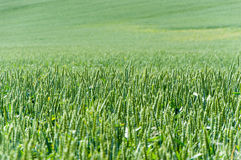 Wheat field. Green earns of the young wheat Stock Photos