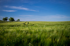The wheat field 2 Stock Images