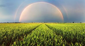 Wheat field green grass landscape sunset with rainbow Stock Image