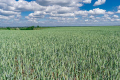 Wheat on the field Royalty Free Stock Photography