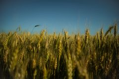 Wheat on the field royalty free stock image