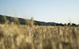 Wheat Field With Green Mountain in Background Royalty Free Stock Photo