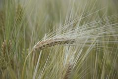 Green ear of wheat in the field in focus stock photos