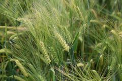 Green Wheat Spikes. Wheat Field. Green Wheat Spikes Royalty Free Stock Photography