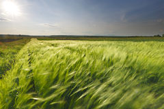 Wheat field. Green wheat field with sun on the sky Stock Photography