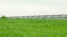 Wheat Field and Greenhouse. Wheat field in windy weather and greenhouses on the background. Sky copy space stock footage