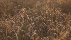 Wheat in the field stock footage