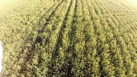 Wheat field growing in rows stock video footage
