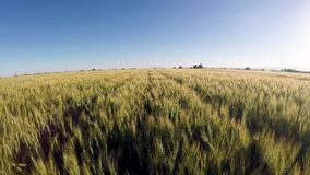 Wheat field growing in rows stock footage