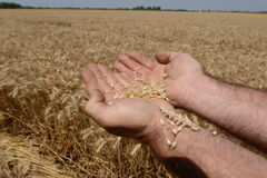 Wheat field with hand Stock Photography
