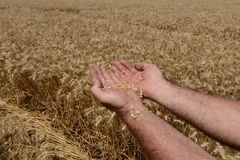 Wheat field with hand Stock Photos