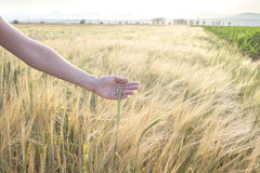 Wheat Field. Hand touching wheat on a Summer day Stock Photography