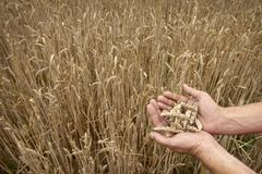 Wheat field hands Stock Images