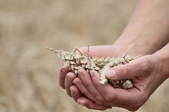 Wheat field with hands royalty free stock image
