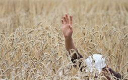 Wheat field with hands stock image