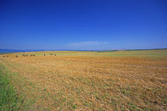 Wheat field after harvest Royalty Free Stock Photography