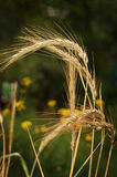 The wheat in the field. Before harvest Stock Images