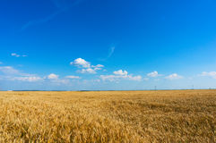 Wheat field before harvest. Golden wheat field before harvest and blue sky stock photo