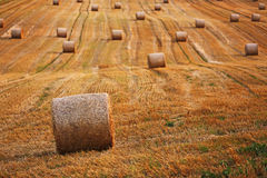 Wheat field after harvest. Stock Photos