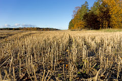 Wheat field after harvest Stock Image