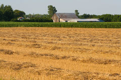 Wheat field harvested. The wheat has been harvested and the straw has been rowed up ready to bail Stock Photography