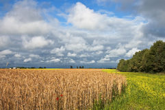 Wheat field before harvesting. Royalty Free Stock Photo