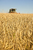 Wheat field with harvesting combine Stock Image