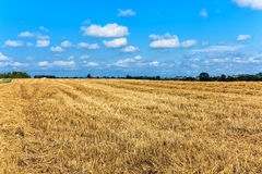 Wheat field after harvesting Royalty Free Stock Photo