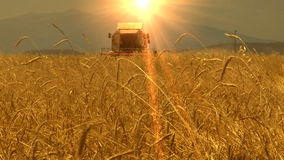 Wheat field harvesting stock footage