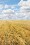 Wheat field after harvesting Stock Image