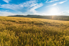 Wheat field. On the hill, ready for harvest Stock Photography