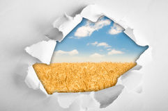 Wheat field through hole in paper. Whith torn sides royalty free stock photos
