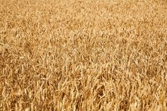 Wheat field. Horizontal image as a background Stock Images
