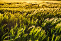 Wheat Field II Stock Images