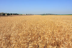 Wheat field. Israel. Royalty Free Stock Images