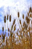 Wheat field in Italy  Royalty Free Stock Photography