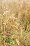 Wheat field. In its natural golden colour Royalty Free Stock Images