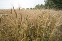 Wheat field. In its natural golden colour Stock Photo