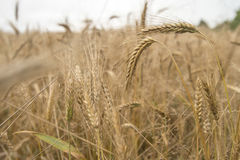 Wheat field. In its natural golden colour Royalty Free Stock Photo