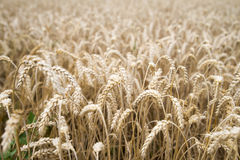 Wheat field. In its natural golden colour Stock Photos