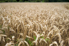 Wheat field. In its natural golden colour Royalty Free Stock Photography