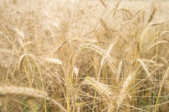 Wheat field. In its natural golden colour Royalty Free Stock Image