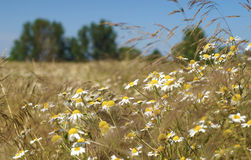 Wheat field in July Stock Photography