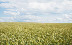 Wheat field in June Royalty Free Stock Image