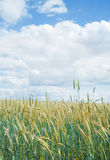 Wheat field in June Stock Photo