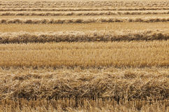 Wheat field just harvested. Stock Photography