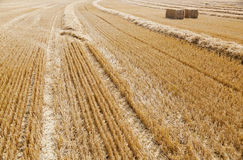 Wheat field just harvested. Royalty Free Stock Images