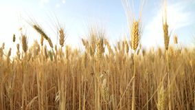Wheat field just before harvesting stock video footage