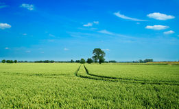 Wheat field landscape. A lone tree and a tractor trail amid a wheat field Royalty Free Stock Images