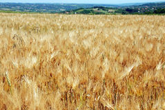 Wheat field landscape Stock Photos